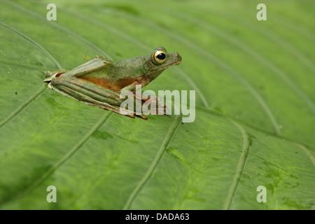 Wallace's flying frog (Rhacophorus nigropalmatus), sitting on a leaf, Malaysia, Sabah, Danum Valley - Stock Photo