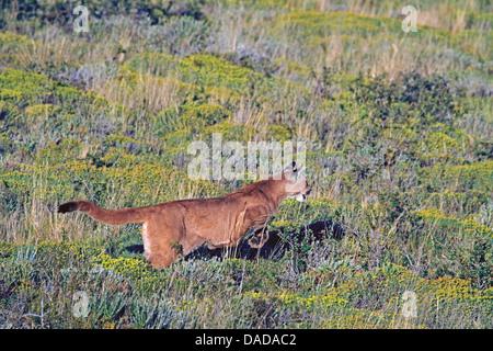 Puma, Mountain lion, Cougar (Puma concolor, Profelis concolor, Felis concolor), jumping, Chile, Ultima Esperanza, - Stock Photo