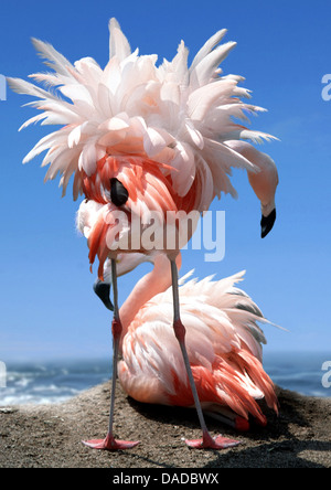 greater flamingo (Phoenicopterus roseus, Phoenicopterus ruber roseus), couple in the nest on a hill at the Mediterranean - Stock Photo