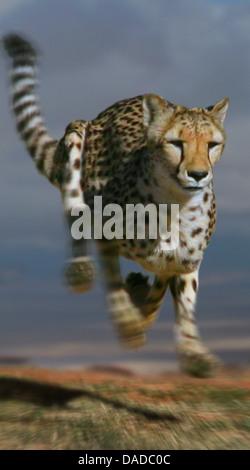 cheetah (Acinonyx jubatus), running, South Africa - Stock Photo