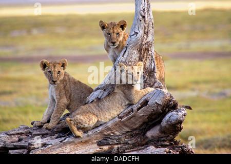 lion (Panthera leo), pubs resting on a dead tree, Kenya, Amboseli National Park - Stock Photo