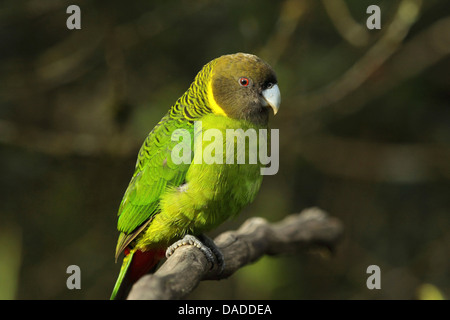 Brem's parrot (Psittacella brehmii), on branch, Papua New Guinea, Western Highlands , Kumul Lodge - Stock Photo