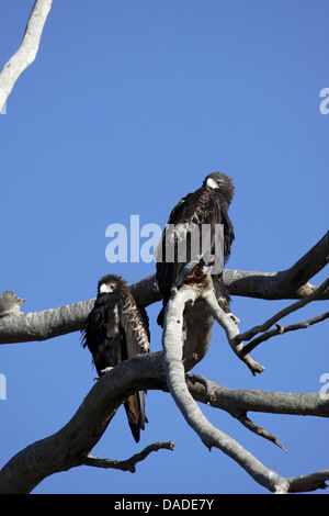 wedge-tailed eagle (Aquila audax), pair sitting on a tree, Australia, Western Australia, Canning Stock Route - Stock Photo