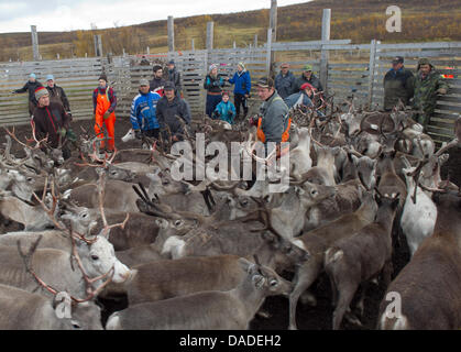 A group of Sami people leads a herd of reindeers through a gate in the Finnmark region, around 100 kilometres south - Stock Photo