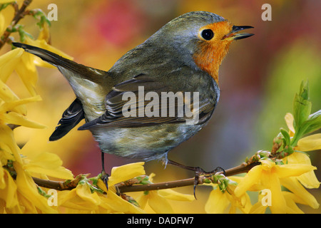 European robin (Erithacus rubecula), sitting on a branch of Forsythia, Germany, Bavaria - Stock Photo