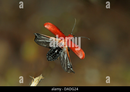 scarlet fire beetle, cardinal beetle (Pyrochroa coccinea), flying, Germany - Stock Photo