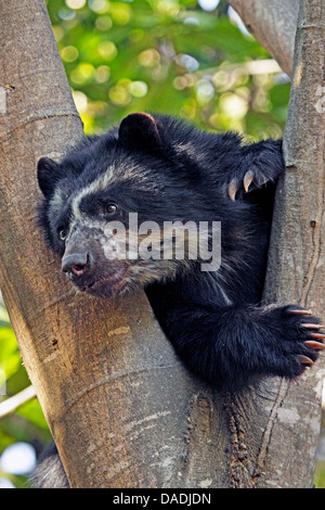 Spectacled bear, Andean bear (Tremarctos ornatus), resting in a tree and showing tongue, Peru, Lambayeque, Reserva - Stock Photo