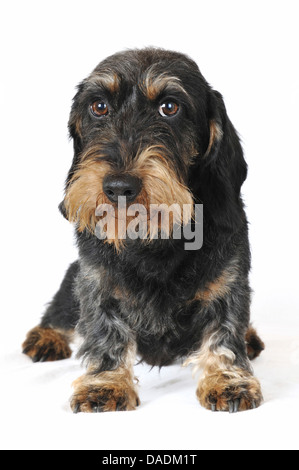 Wire-haired Dachshund, Wire-haired sausage dog, domestic dog (Canis lupus f. familiaris), front view, Germany - Stock Photo