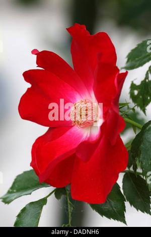 ornamental rose (Rosa spec.), simple red rose - Stock Photo