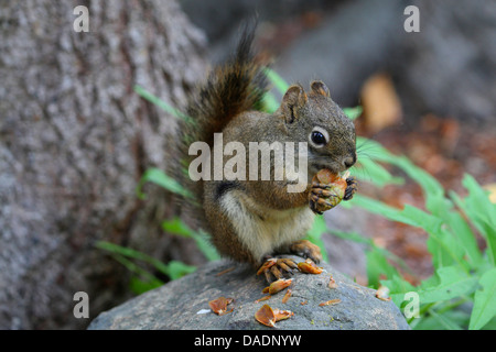 eastern red squirrel, red squirrel (Tamiasciurus hudsonicus), nibbling at a cone, USA, Alaska - Stock Photo