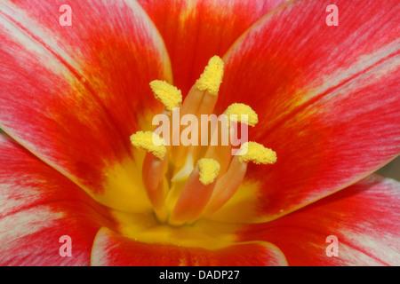 common garden tulip (Tulipa spec.), red tulip - Stock Photo