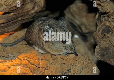 short-eared elephant shrew (Macroscelides proboscideus), sitting on dead wood - Stock Photo
