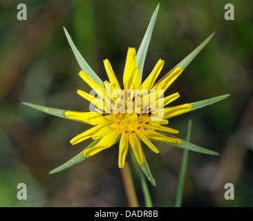 Goatsbeard - Tragopogon pratensis Yellow flower of the morning - Stock Photo