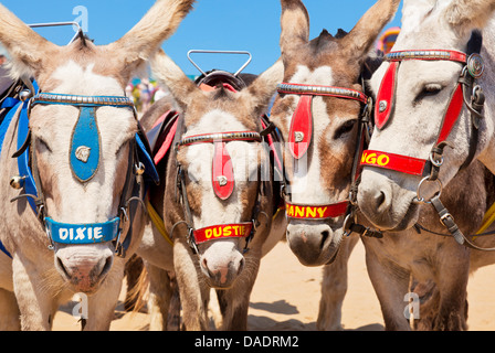 Donkeys on the Beach Skegness Lincolnshire england UK GB EU Europe - Stock Photo