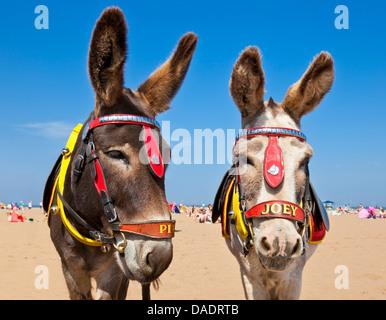 Donkeys on Beach Skegness beach Lincolnshire england UK GB EU Europe - Stock Photo