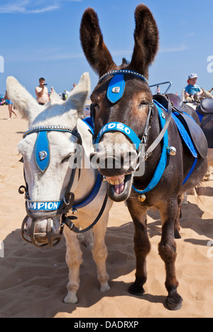Donkeys on Beach Skegness Lincolnshire england UK GB EU Europe - Stock Photo
