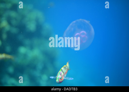 Klunzinger's wrasse, colorful fish in the Red Sea in Egypt with the reef in the background, running away from jellyfish - Stock Photo