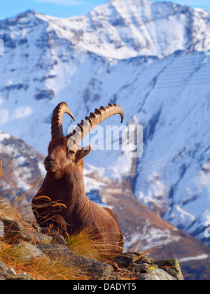 alpine ibex (Capra ibex), goat in the Graian Alps, Italy, Gran Paradiso National Park, Vanontey - Stock Photo