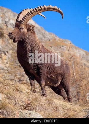 alpine ibex (Capra ibex), standing in winter on a rock, Italy, Gran Paradiso National Park, Vanontey Stock Photo