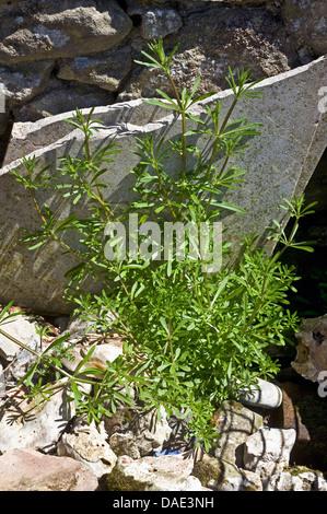 Cleavers or goosegrass, Galium aparine, plant growing amongst garden rubble - Stock Photo
