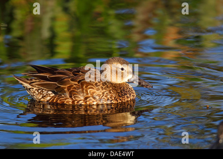 blue-winged teal (Anas discors), swimming female, USA, Florida, Everglades National Park - Stock Photo