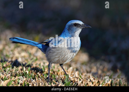 Scrub jay (Aphelocoma coerulescens), looking for food on the ground, USA, Florida, Merritt Island - Stock Photo