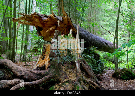 wind break in a forest, Germany, Bavaria, Bavarian Forest National Park - Stock Photo