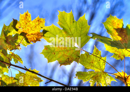 Norway maple (Acer platanoides), maple leaves in autumn, Germany, Bavaria, Oberbayern, Upper Bavaria - Stock Photo