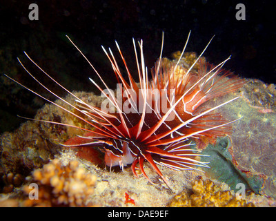 radial firefish, longhorn firefish, clearfin turkeyfish (Pterois radiata), looking for food at the coral reef, Egypt, - Stock Photo