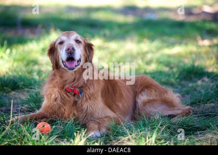 Portrait of golden retriever lying on grass - Stock Photo