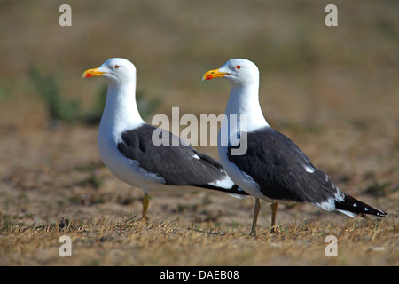 lesser black-backed gull (Larus fuscus), couple standing on ground, Netherlands, Texel - Stock Photo