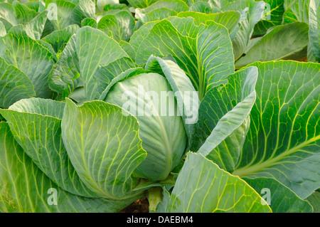 white cabbage (Brassica oleracea var. capitata f. alba), fresh head of cabbage in a white cabbage field - Stock Photo