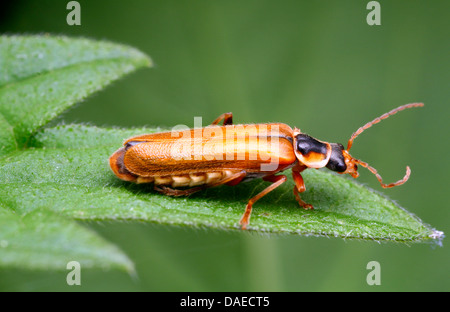 soldier beetle (Cantharis decipiens), sittting on a leaf, Germany, Thuringia - Stock Photo