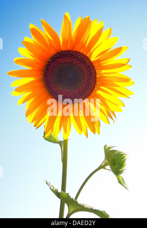 common sunflower (Helianthus annuus), inflorescence in backlight - Stock Photo