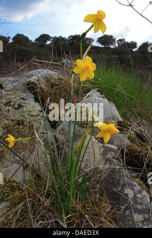 jonquil (Narcissus jonquilla), blooming at Rio Almonte, Spain, Extremadura - Stock Photo