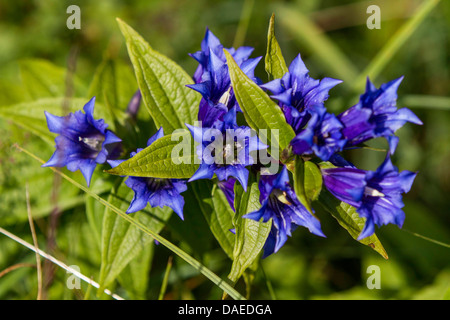 willow gentian (Gentiana asclepiadea), blooming, Germany, Bavaria - Stock Photo