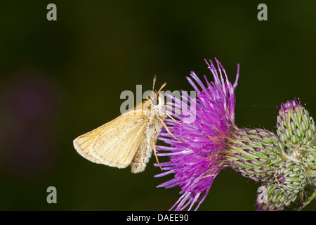 small skipper (Thymelicus sylvestris, Thymelicus flavus), on a thistle, Germany - Stock Photo