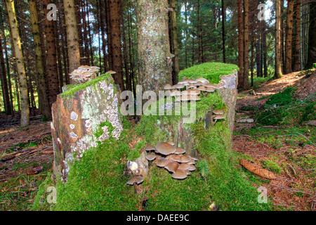 tree snags with mushrooms, Germany, Bavaria, Oberbayern, Upper Bavaria - Stock Photo