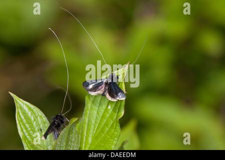 Green Longhorn, Green Long-horn (Adela reaumurella, Phalaena reaumurella, Phalaena viridella, Adela viridella), - Stock Photo