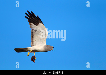 hen harrier (Circus cyaneus), male flying, with prey, Netherlands, Texel - Stock Photo