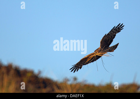 hen harrier (Circus cyaneus), female, flying,  with nesting material in the bill, Netherlands, Texel - Stock Photo
