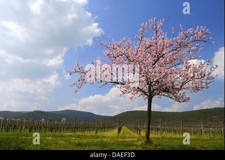 Almond (Prunus dulcis, Prunus amygdalus, Amygdalus communis, Amygdalus dulcis), Blooming almond tree in early spring, - Stock Photo
