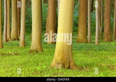 common beech (Fagus sylvatica), beech forest, Germany, Mecklenburg-Western Pomerania, Nienhagen, Bad Doberan - Stock Photo
