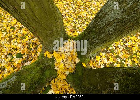 silver maple, white maple, bird's eye maple (Acer saccharinum), Maple tree leaves lying under tree, Germany, Bavaria - Stock Photo