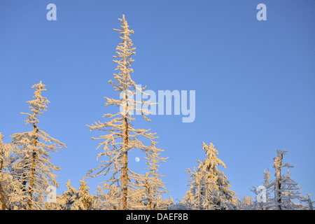 Norway spruce (Picea abies), Snow covered Trees with Moon, Grosser Inselsberg, Germany, Thueringen, Brotterode - Stock Photo
