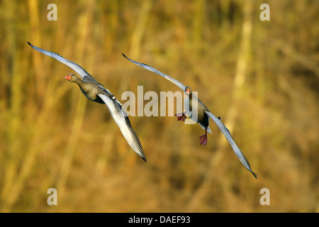 greylag goose (Anser anser), two Grey Lag Goose im Landeanflug, Germany, Bavaria - Stock Photo