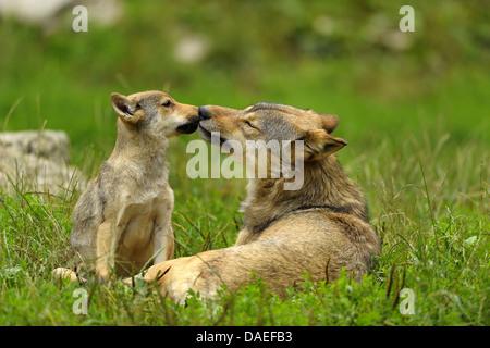 wolf cub spielen