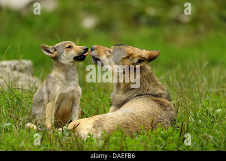European gray wolf (Canis lupus lupus), with pup in summer, Germany - Stock Photo