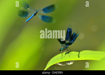 bluewing, demoiselle agrion (Calopteryx virgo), flying and sitting on a leaf, Germany, Baden-Wuerttemberg - Stock Photo