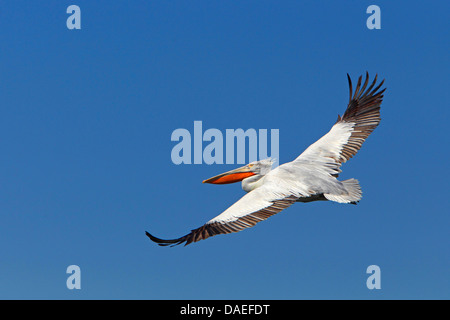 Dalmatian pelican (Pelecanus crispus), flying, soaring, Greece, Kerkinisee - Stock Photo